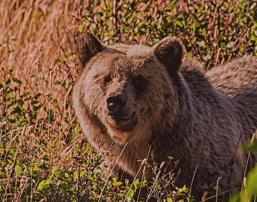 Grizzly stare. by Rusty R Smith
