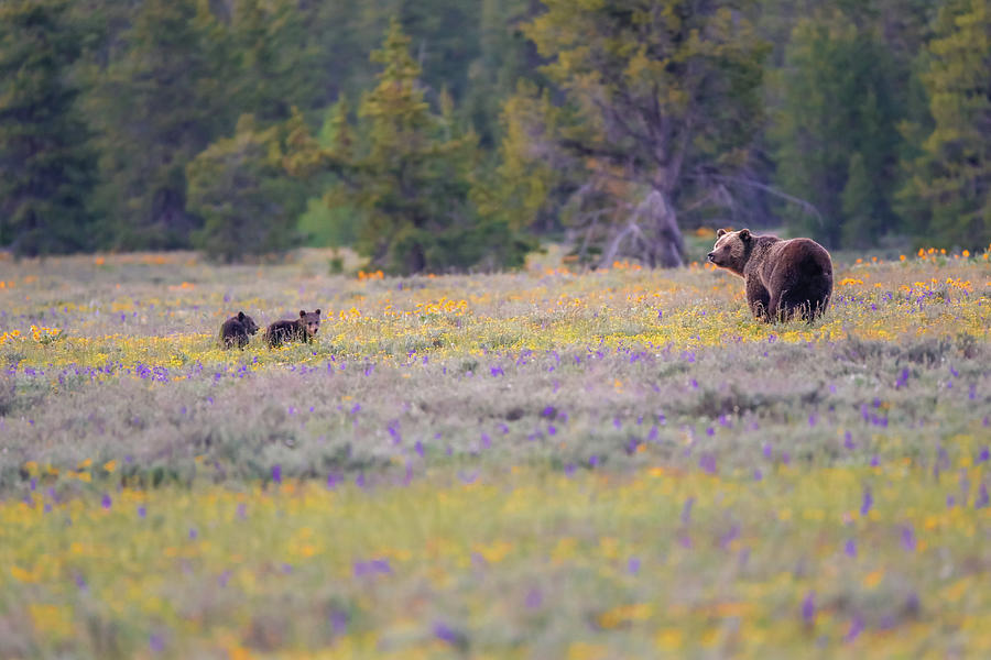 Grizzly Bear Photograph - Grizzly With Spring Cubs by Dan Sproul