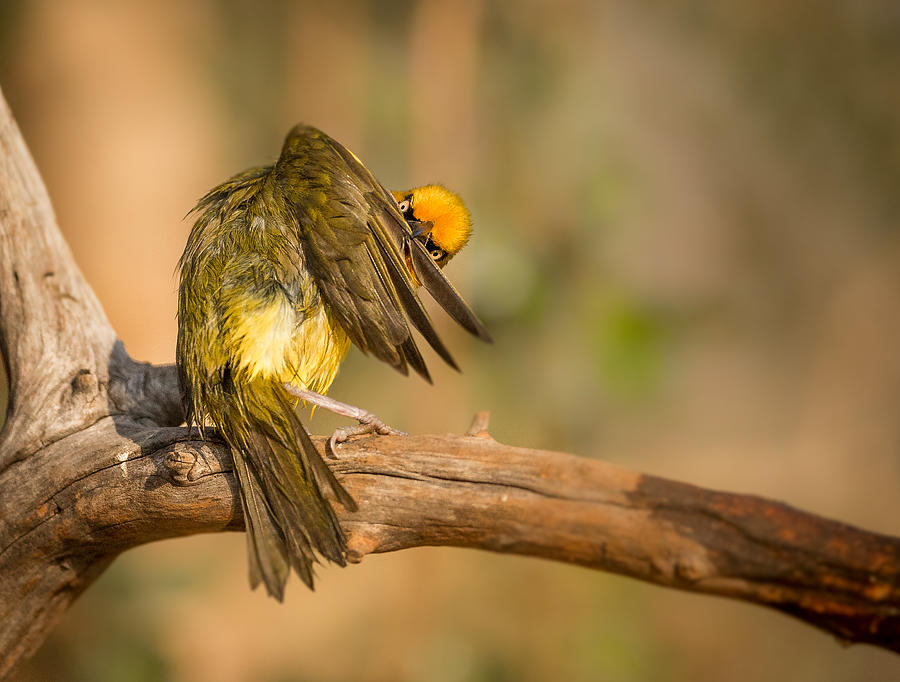 Bird Photograph - Grooming by Jaco Marx