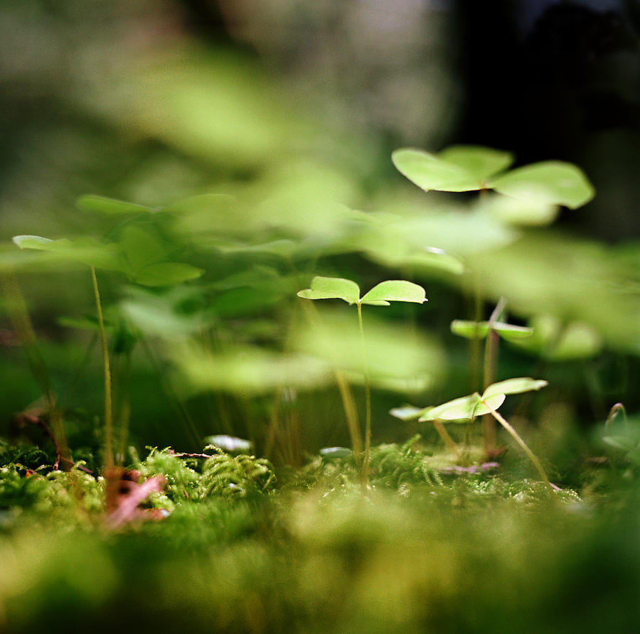 Ground View Of Tiny Clover Photograph by Danielle D. Hughson