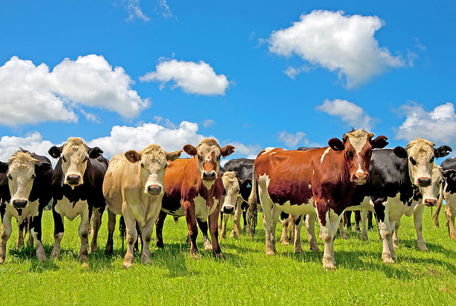 Group Of Cows In A Field Photograph by Scott E Barbour