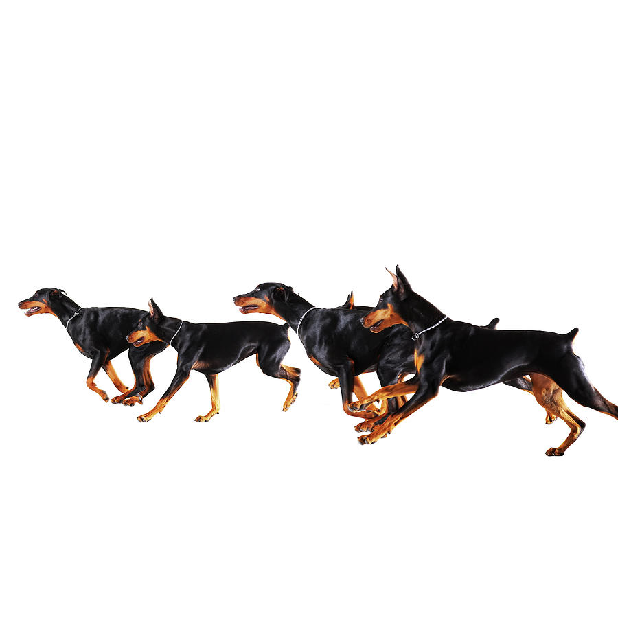 Group Of Dobermans Running Against Photograph by Thomas Northcut