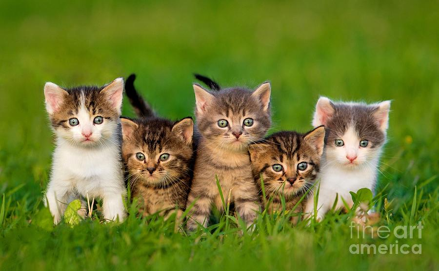 Small Photograph - Group Of Five Little Kittens Sitting by Grigorita Ko