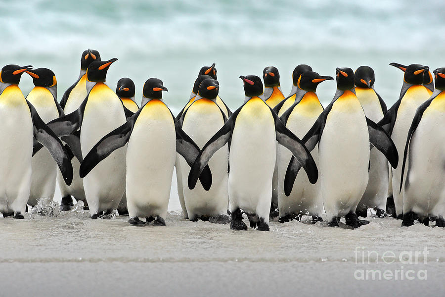 Harmony Photograph - Group Of King Penguins Coming Back by Ondrej Prosicky