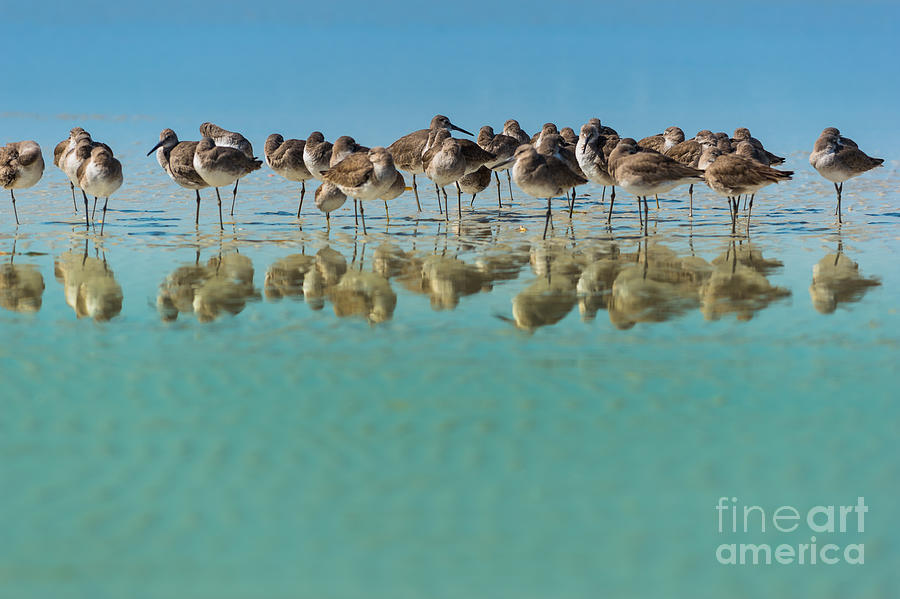 Usa Photograph - Group Of Willets Reflection On The by Kris Wiktor