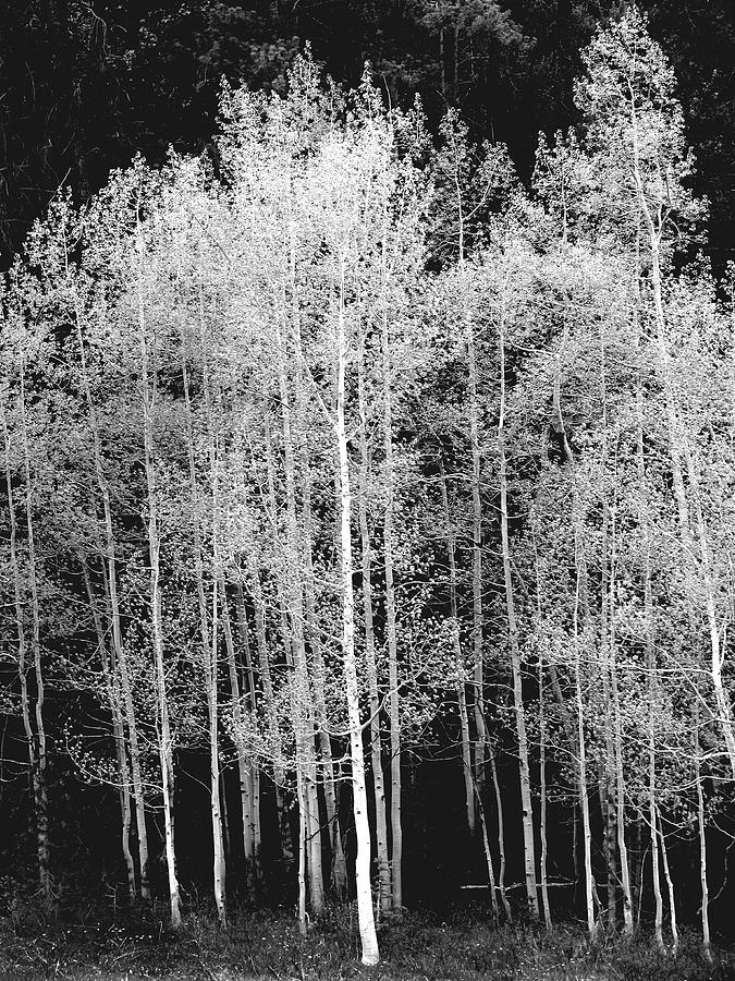 Grove Of Aspen Trees Populus Photograph by David Epperson