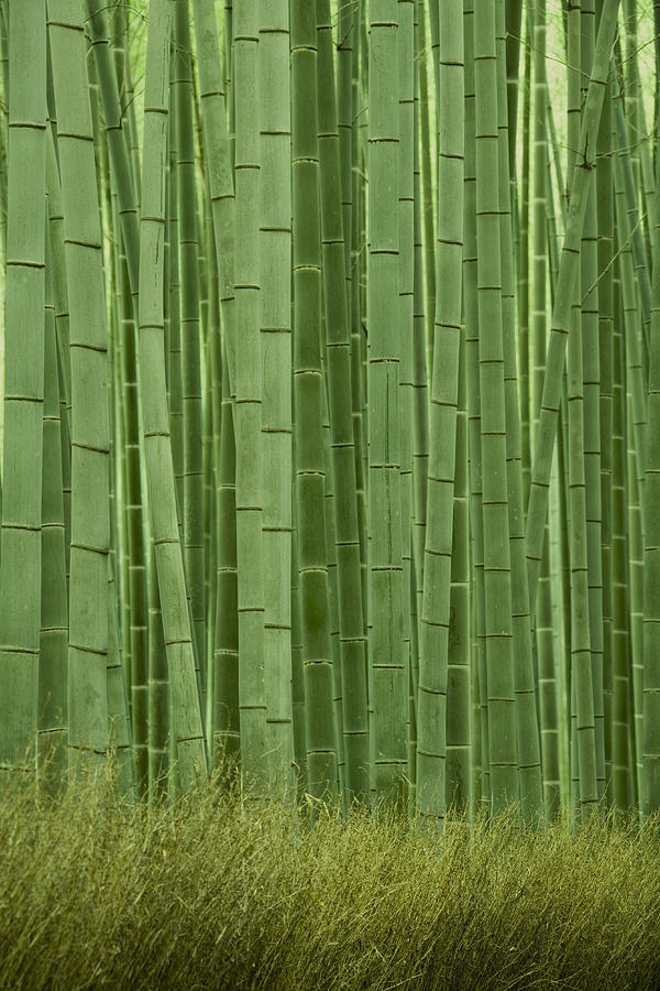 Grove Of Bamboo Trees Phyllostachys Photograph by Akira Kaede
