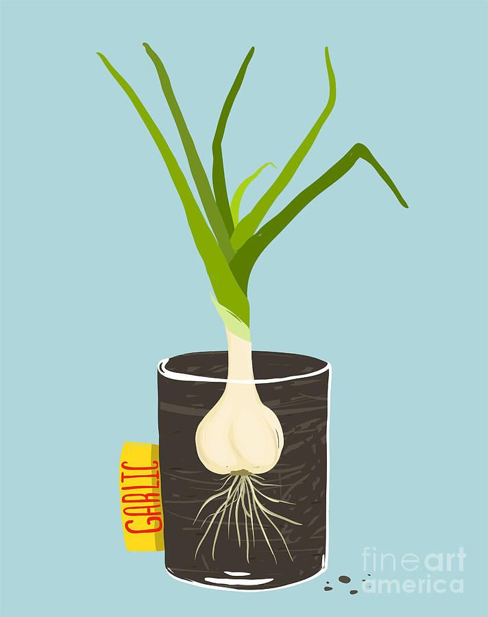 Container Digital Art - Growing Garlic With Green Leafy Top In by Popmarleo