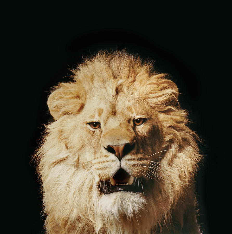 Growling Lion Photograph by Gk Hart/vicky Hart