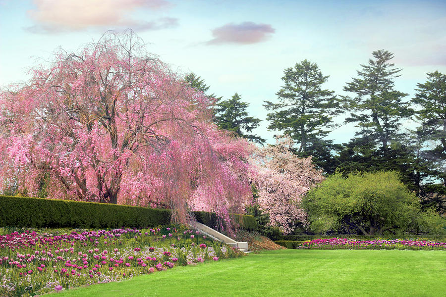 Cherry Trees Photograph - Weeping Cherry And Tulips by Jessica Jenney