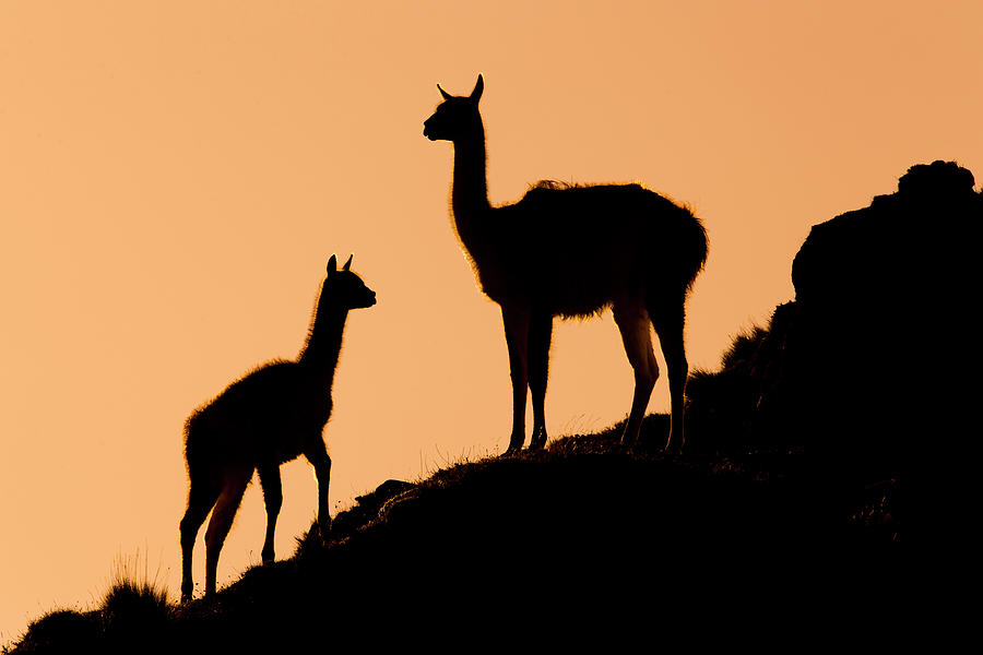 Guanaco Mother And Cria At Sunset Photograph by Sebastian Kennerknecht