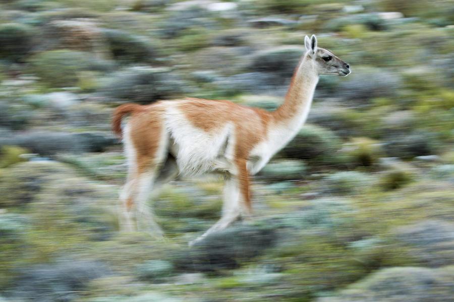 Guanaco On The Run, Patagonia Photograph by Sebastian Kennerknecht