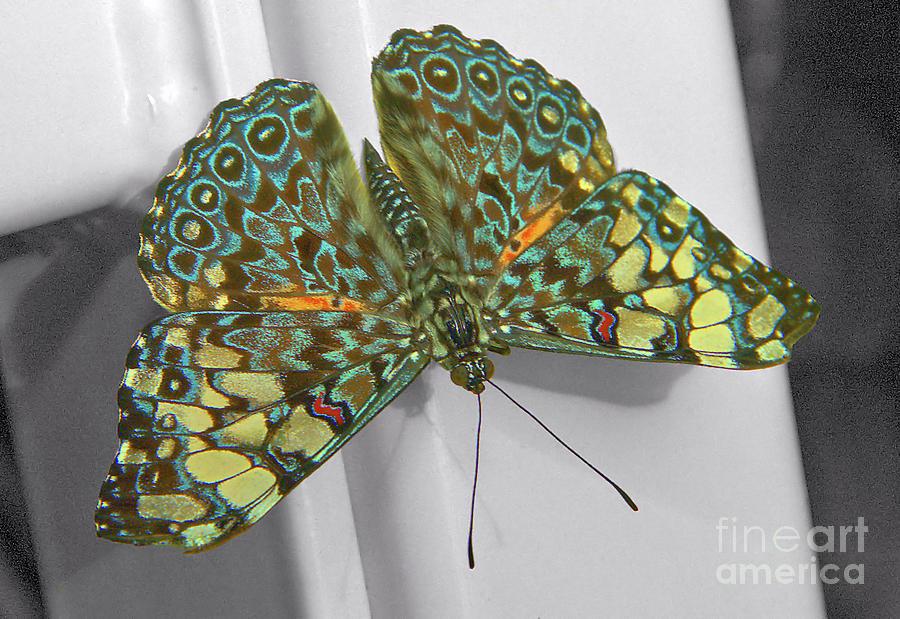 Guatemalan Cracker Butterfly by Steve Edwards