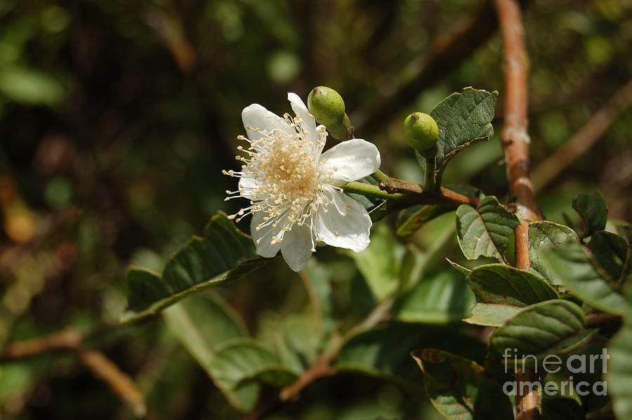 Galapagos Islands Photograph - Guava Flower, Isabela, Galapagos Photo by Unknown