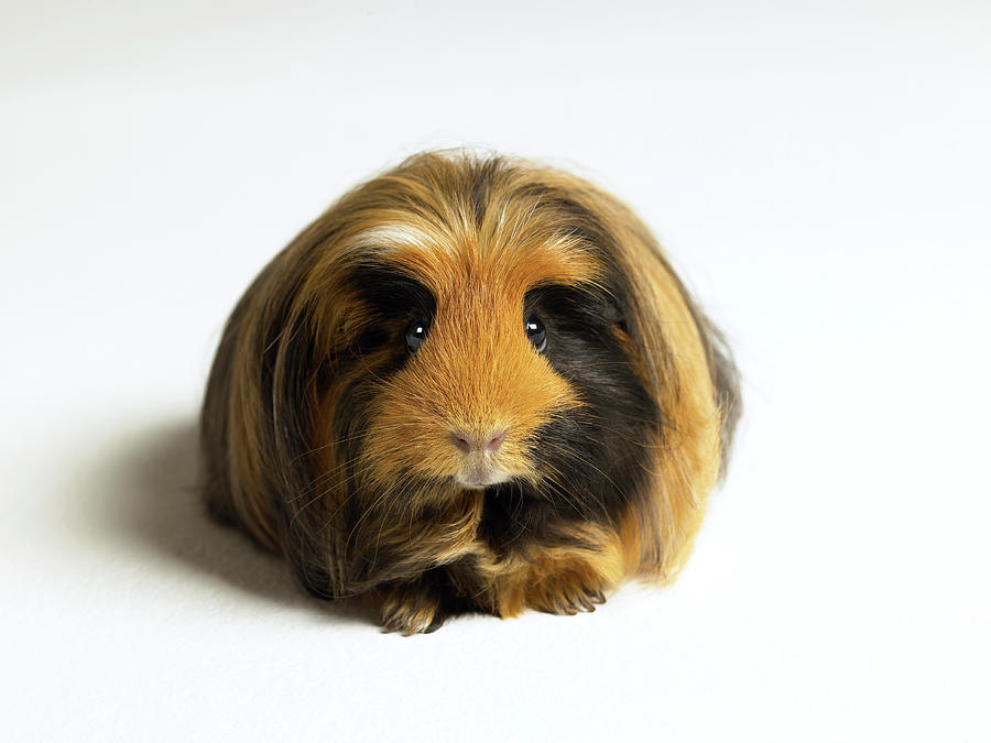 Guinea Pig Against White Background Photograph by Michael Blann