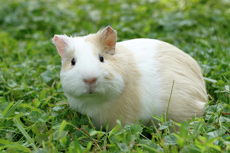 Animal Photograph - Guinea Pig In Grass by David Kenny