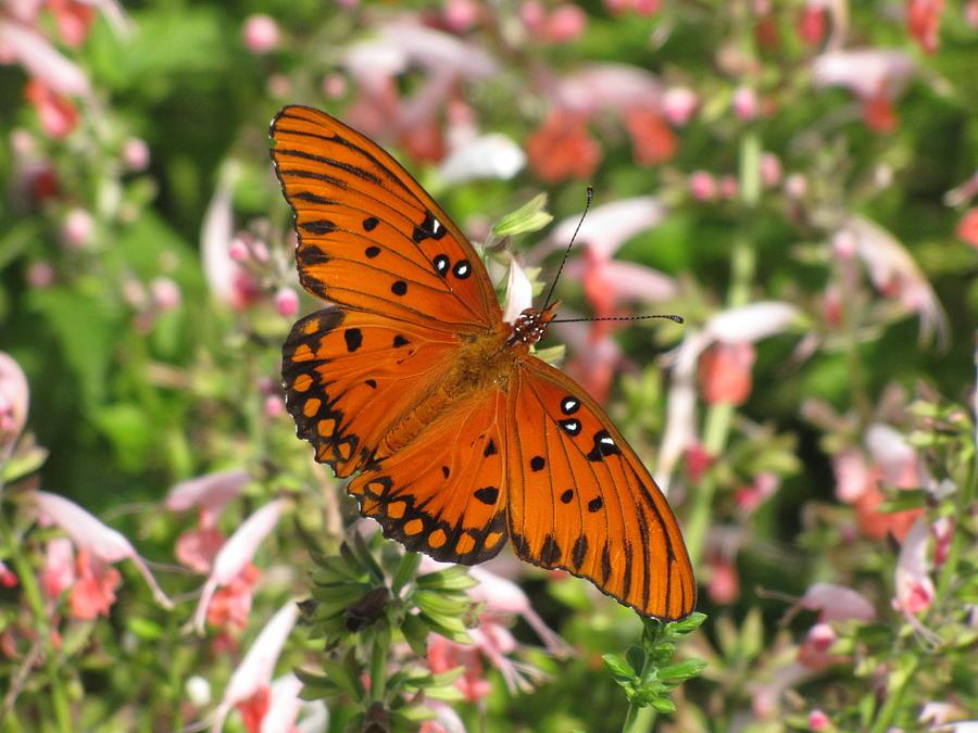 Gulf Fritillary Aka Passion Butterfly Photograph by Daniela Duncan