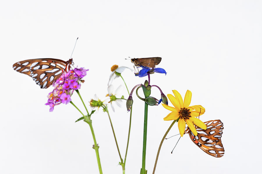 Gulf Fritillary And Brown Skipper Photograph by Jim Mckinley