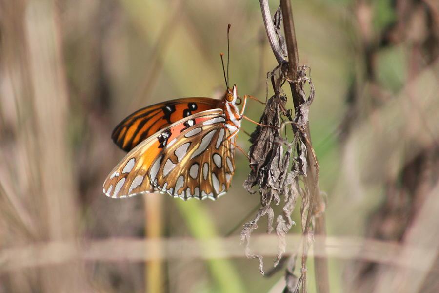 Butterfly Photograph - Gulf Fritillary by Callen Harty