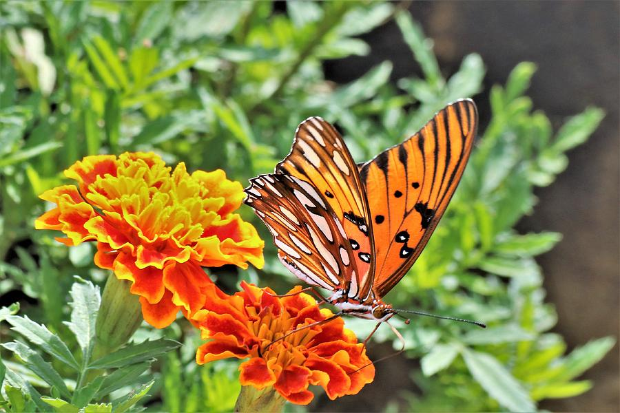 Gulf Fritillary on Orange Marigolds by Sheila Brown