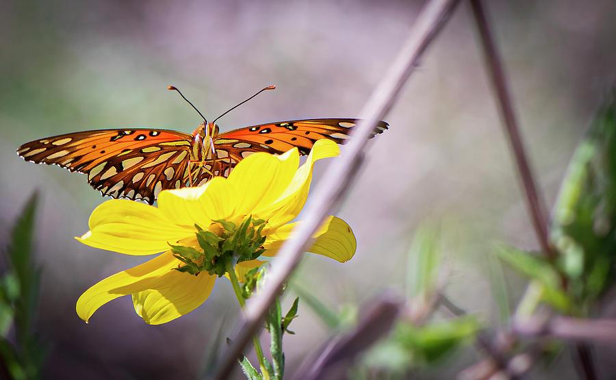 Gulf fritillary On Yellow Flower by Karen Rispin