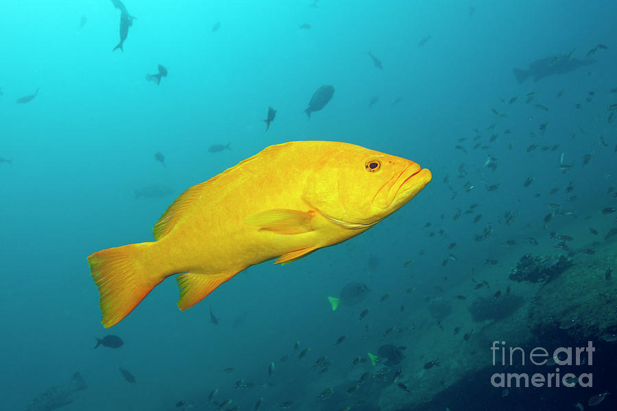 Grouper Photograph - Gulf Grouper In Yellow Phase by Reinhard Dirscherl/science Photo Library