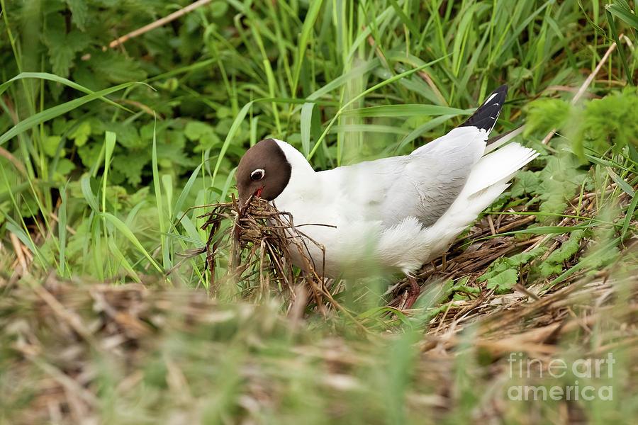 Gull Bird Building A Nest Close Up Photograph By Simon Bratt