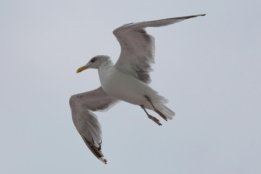 Gull Glide  by John Daly