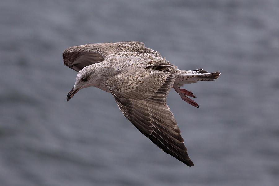 Gull in Flight Closeup by John Daly