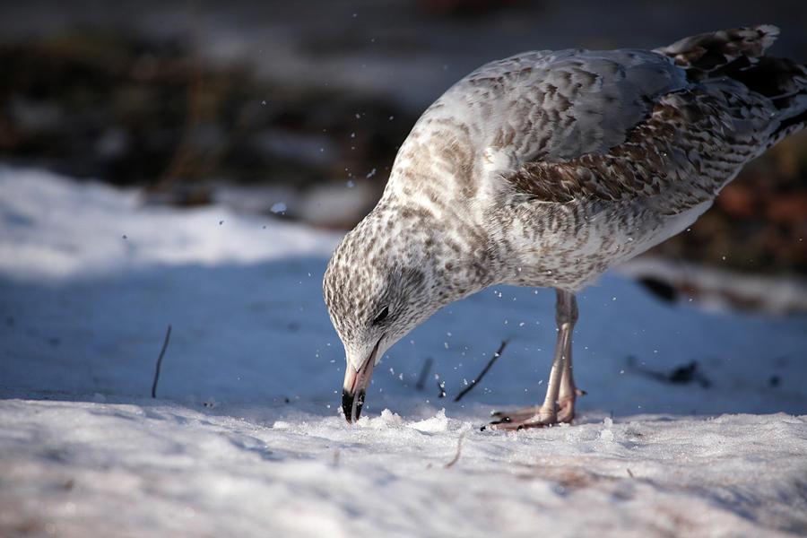 Gull in Snow by Karol Livote