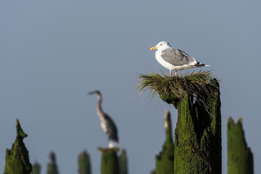 Gull in the Grass by Robert Potts