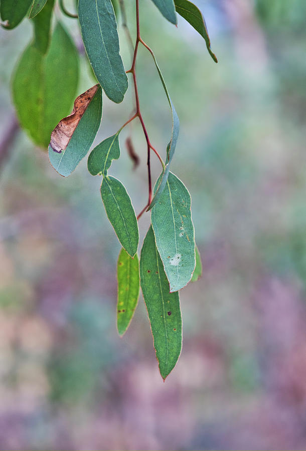 Gum Leaves - Australia by Steven Ralser