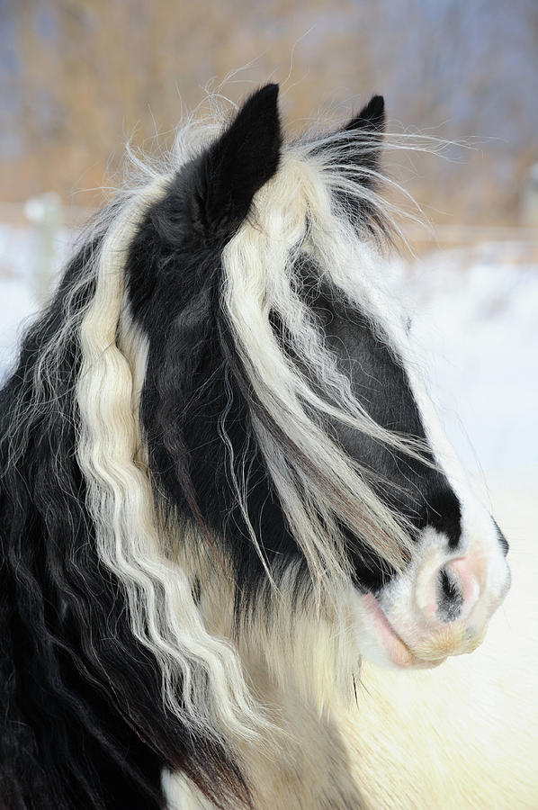 Gypsy Vanner Horse Head Shot, Long Mane Photograph by Catnap72