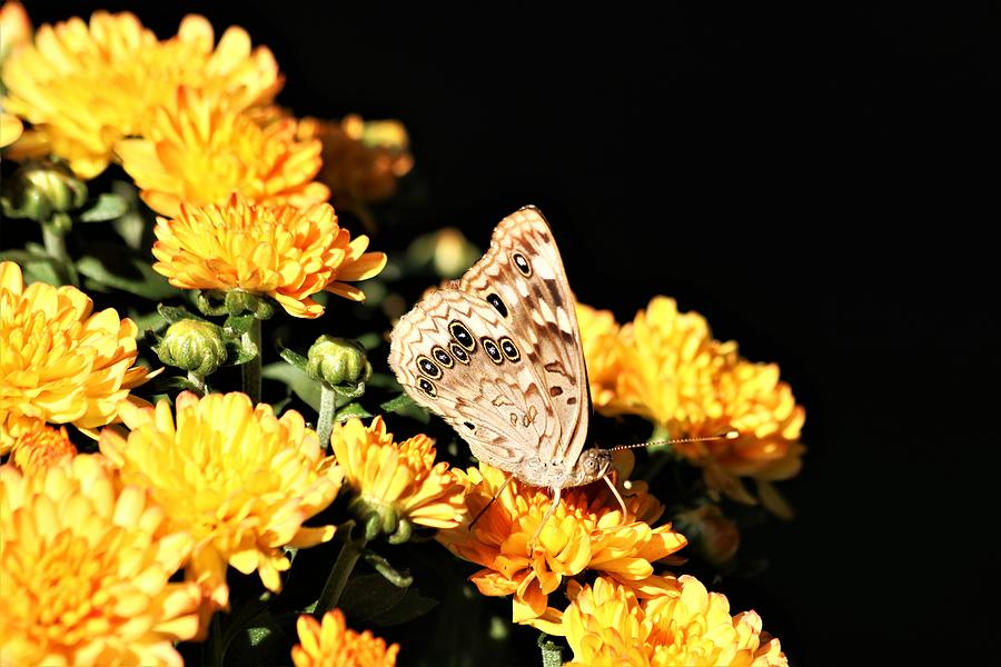Hackberry Emperor on Gold by Sheila Brown