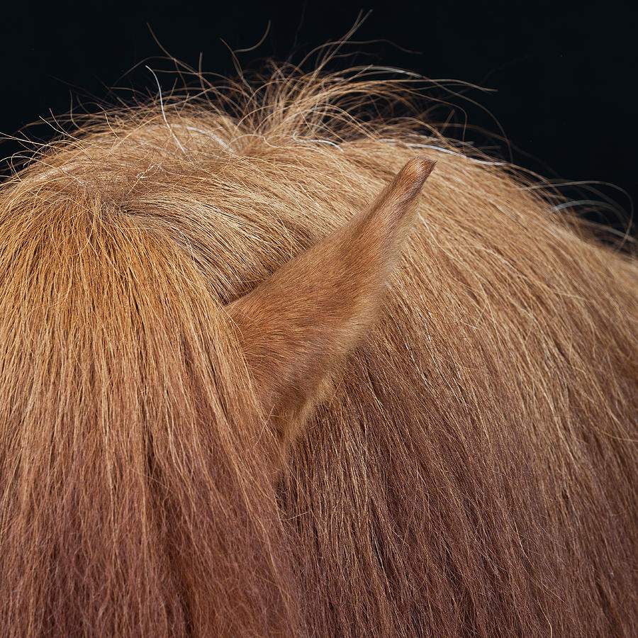 Hair And Ear Of Horse Photograph by Arctic-images