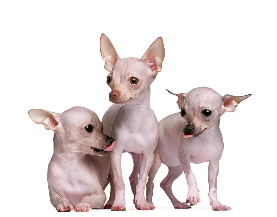 Hairless Chihuahua 5 And 7 Months Old Photograph by Life On White