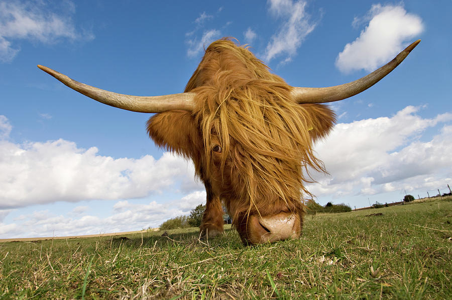 Hairy, Horned, Highland Cow Grazing Photograph by Clarkandcompany