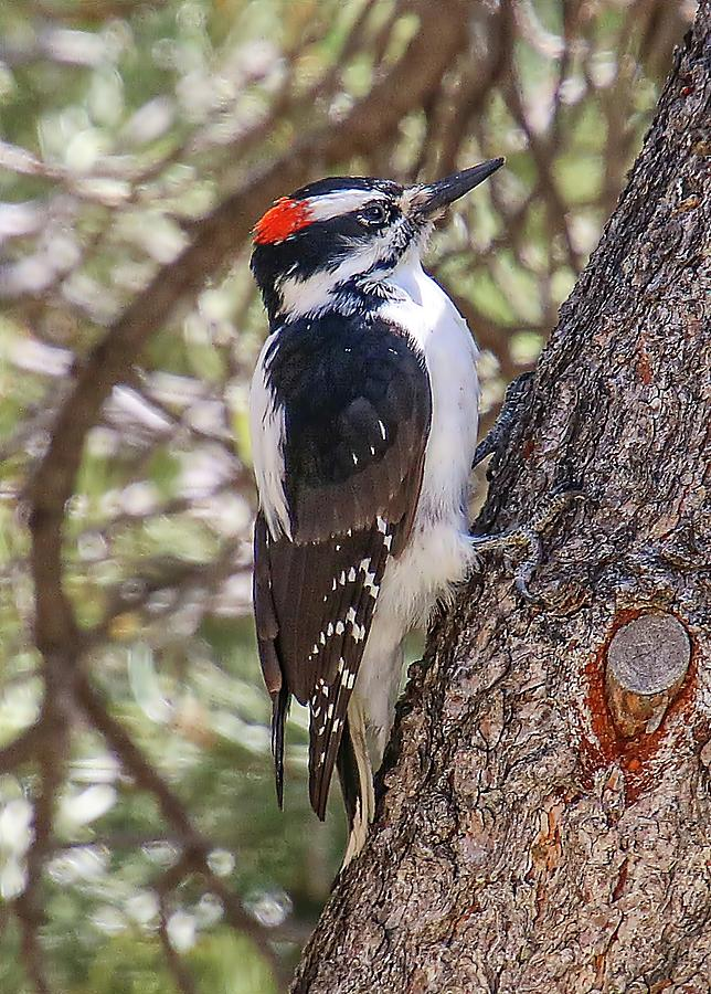 Hairy Woodpecker by Joseph Holub
