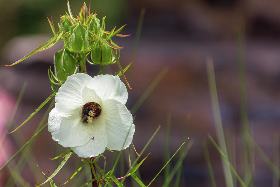 Atlanta Photograph - Halberd Leaf Rosemallow by Randy Bayne