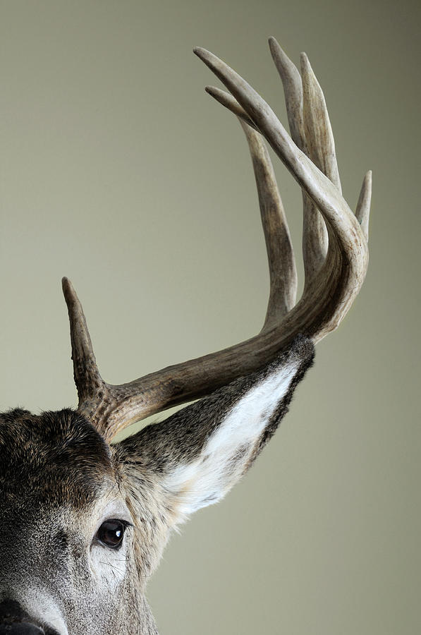 Half Whitetail Deer Head Photograph by Nater23