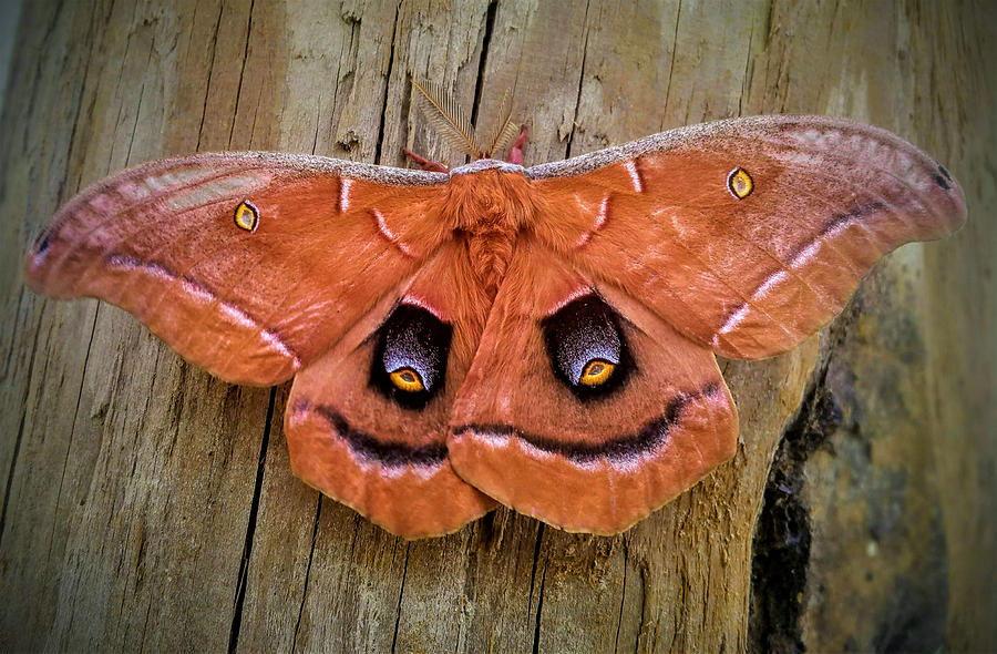 Halloween Moth by Vincent Autenrieb