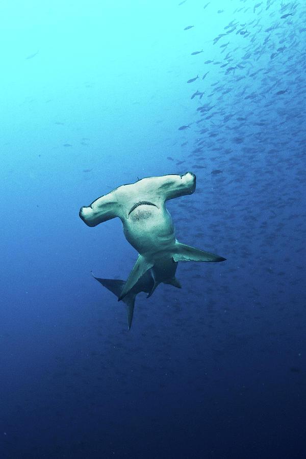 Hammerhead Shark Galapagos Photograph by Kadu Pinheiro