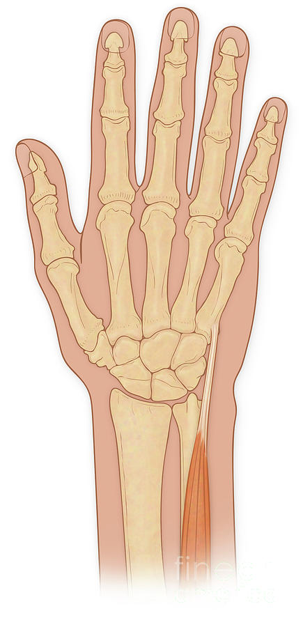 Anatomy Photograph - Hand Anatomy by Medical Imagery Studios/design Pics/science Photo Library