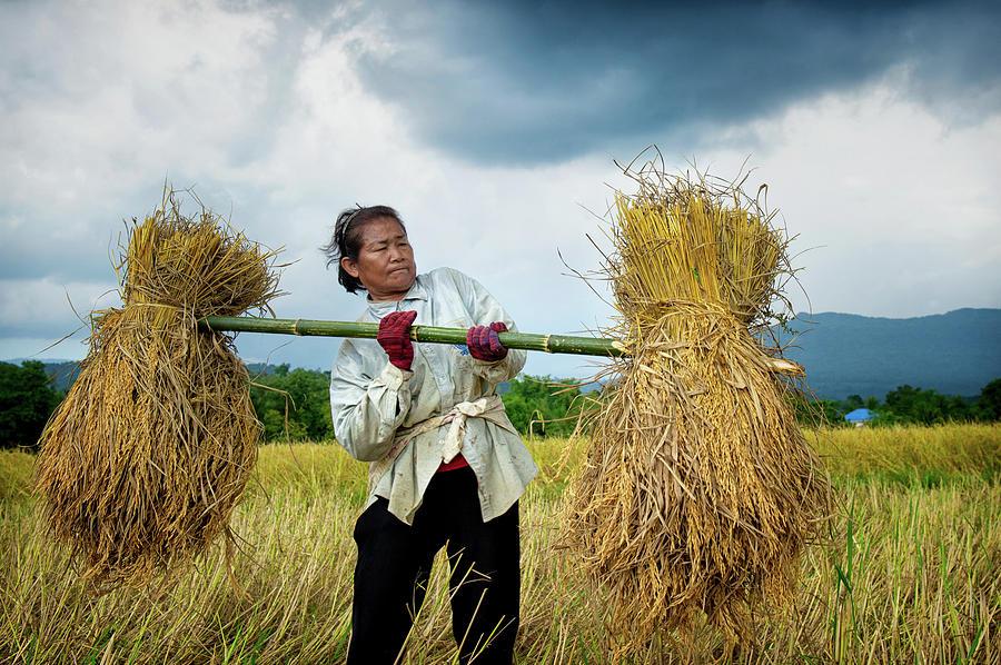 Hand Harvesting Rice by Lee Craker