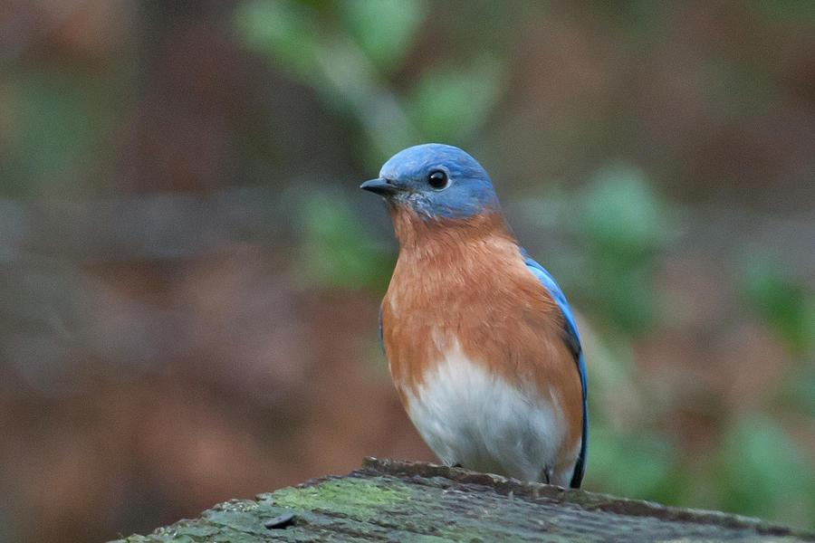 Handsome Male Eastern Bluebird Photograph