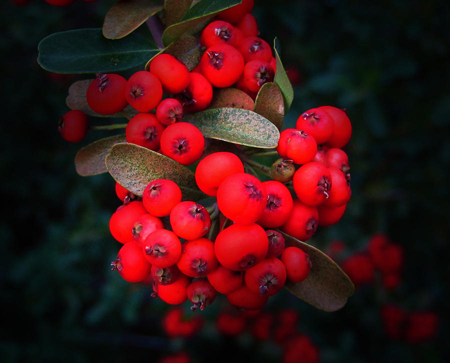 Plant Photograph - Happy Berries by Jeffrey Colin