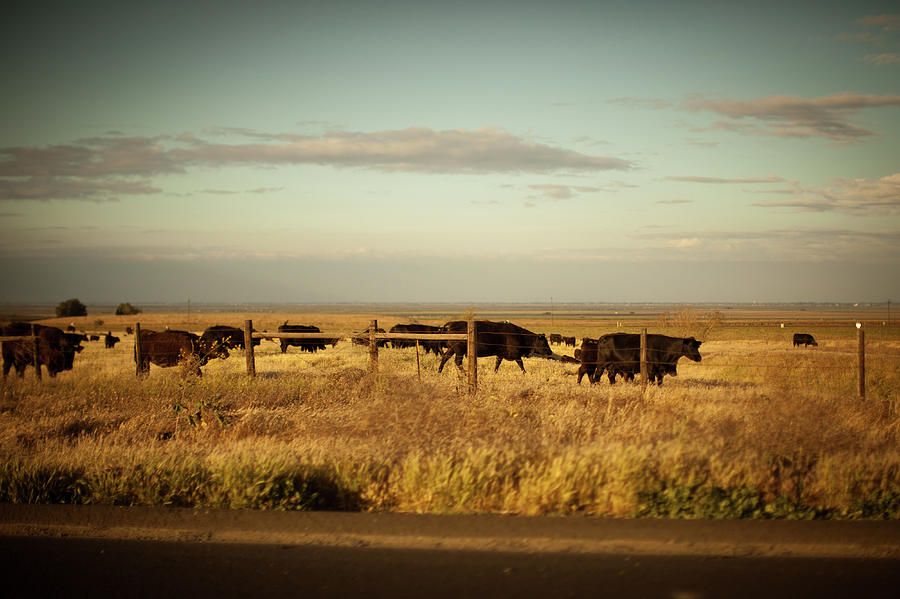 happy californian cows in a meadow by Kim Vermaat