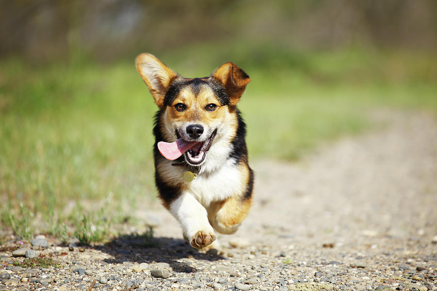 Happy Dog Running Outdoors Photograph by Purple Collar Pet Photography
