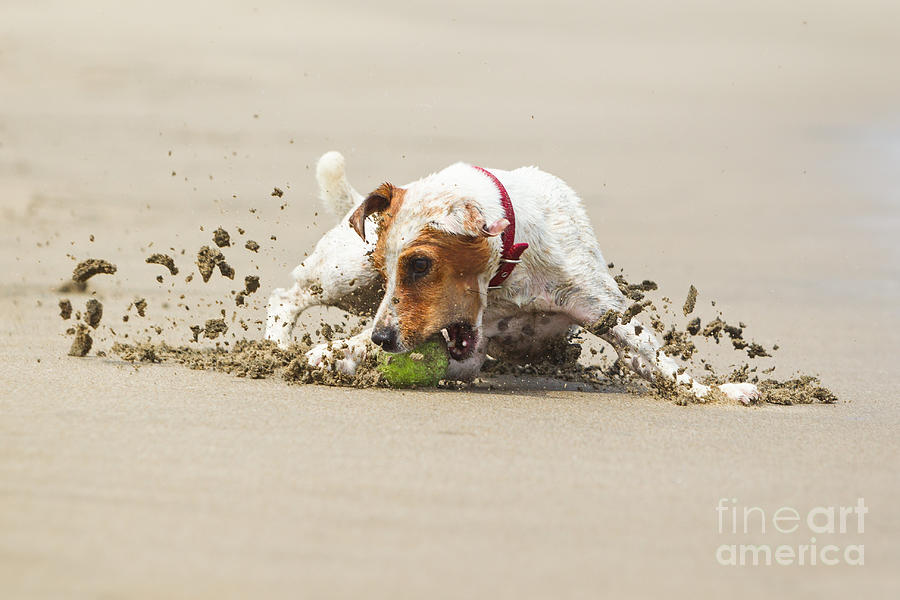 Frontal Photograph - Happy Dog Stopping On The Ball High by Ammit Jack