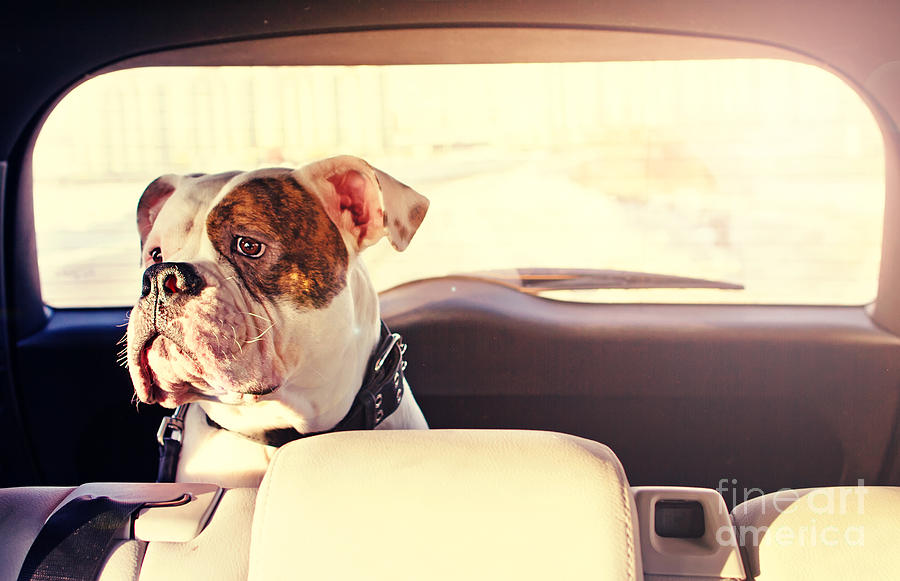 Pets Photograph - Happy Dog Traveling In The Car Boot by Little Moon